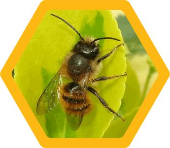 Mortar/Masonry bee (Osmia Bicornis)