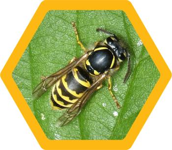 Wasps (Vespula Vulgaris or Vespula Germanica)